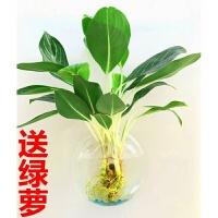 水培花卉仿真绿植园艺多肉植物水养绿萝盆栽工艺品亚克力墙贴花瓶 含盆