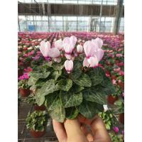 仙客来带花发货好养花卉四季花阳台室内盆栽观花植物绿植