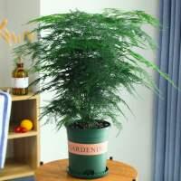 文竹盆景植物室内客厅花卉办公室桌面好养四季常青大盆栽绿植