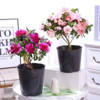 杜鹃花苗盆栽带花苞四季开花不断室内观花卉植物老桩大棵好养
