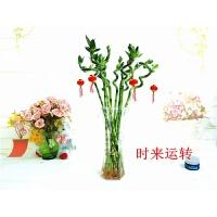 室内转运竹观音竹水培植物竹子盆栽玻璃花瓶透明竹子盆栽 中等