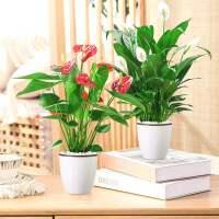 红掌水培花卉白掌绿植物室内四季易活好养一帆风顺水养办公室盆栽