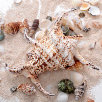 【新品优选】天然大海螺贝壳六角螺蝎子螺水字螺家居装饰摆件鱼缸造景拍摄道具 怪异六角螺
