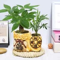树植物陶瓷盆栽室内花卉土养盆景客厅发财金摇钱树花绿植吸甲醛
