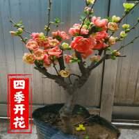 海棠花盆栽树苗盆景重瓣老桩庭院绿植物室内花卉四季开花好养包邮
