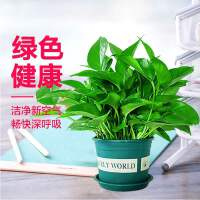 绿萝盆栽植物花卉水培盆景观花室内吸甲醛净化空气大绿箩包邮绿植