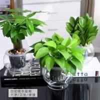 万年青盆栽办公室净化空气花卉银皇后观叶室内植物绿植